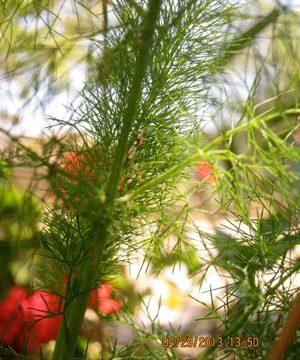 Wild fennel, called marathos in Greek, is the favorite spring herb on Ikaria.