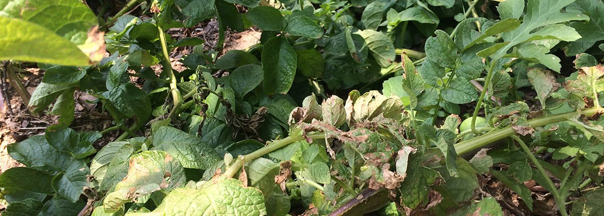 potato-plant-ready-for-harvest