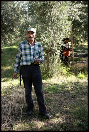 Greek olives are harvested by hand.