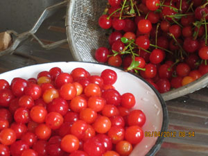 Sour cherries readied for preserving