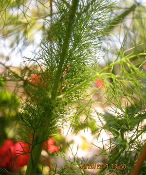 Wild fennel, called marathos in Greek, is the favorite spring herb on Ikaria.