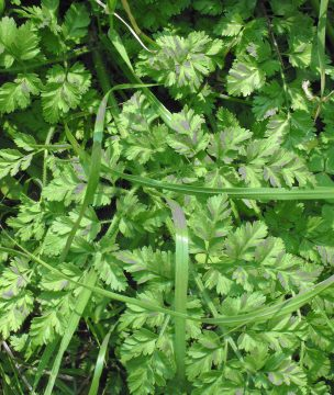 Myronia, a delicate green used in pies.