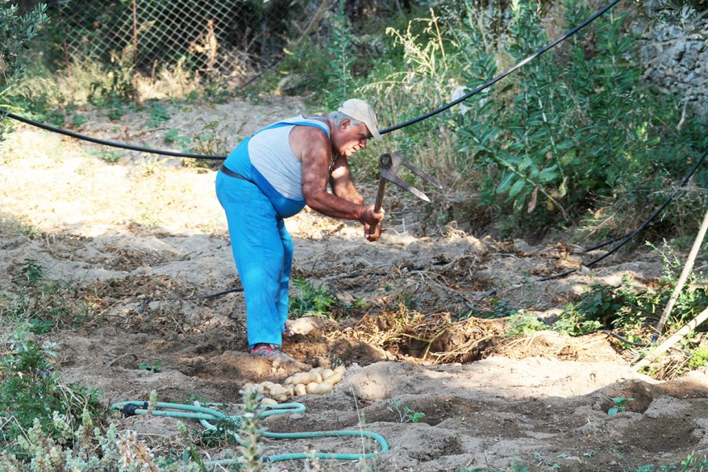 Ikaria: Stefanos harvests potatoes