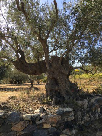 Olive Tree Peloponnese Laconia